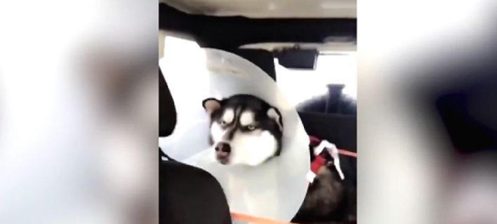 Viral: Η επική έκφραση αυτού του χάσκι όταν ο κτηνίατρος του φόρεσε κώνο