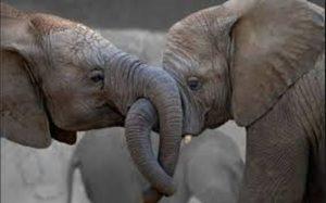 Ζωολογικός κήπος χορηγεί μαριχουάνα σε ελέφαντες