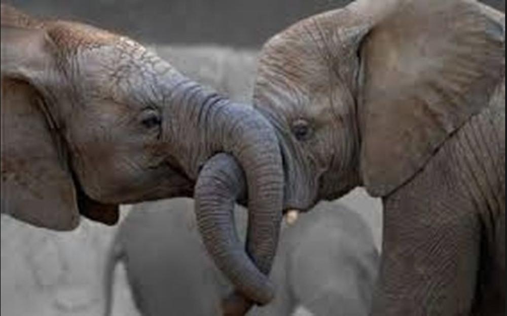 Ζιμπάμπουε: 55 ελέφαντες πέθαναν σε έναν μήνα