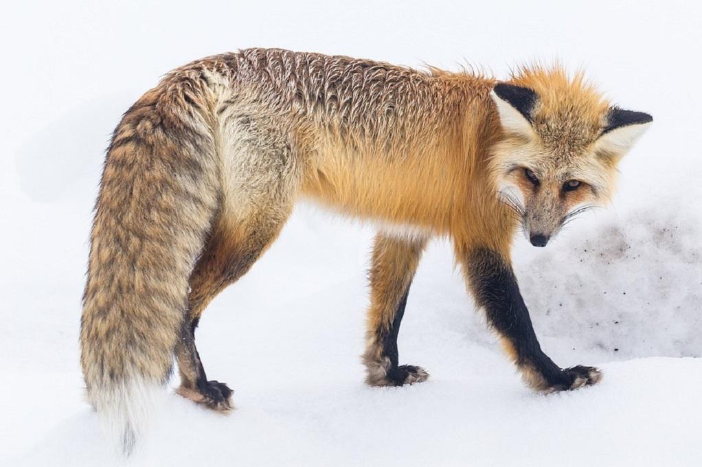 Παράταση στο πρόγραμμα  ενεργητικής επιτήρησης της λύσσας στις κόκκινες αλεπούδες