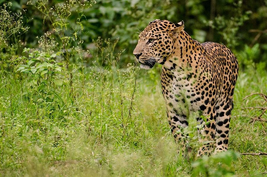 Ινδία: Λεοπάρδαλη έκανε βόλτες σε εμπορικό κέντρο και ξενοδοχείο
