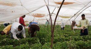 Αχτσιόγλου: Θα προστατευτούν οι εργάτες γης στη Μανωλάδα