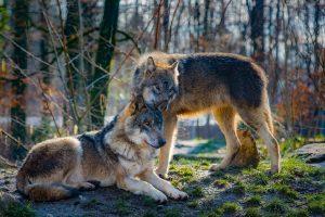 Δήμος Ωραιοκάστρου: Εμφανίστηκαν ίχνη λύκων σε στρατόπεδο