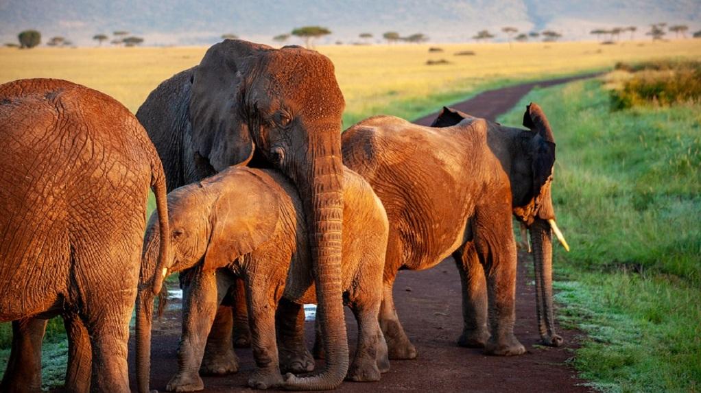 Επιτρέπεται και πάλι το κυνήγι ελέφαντα ενόψει… εκλογών