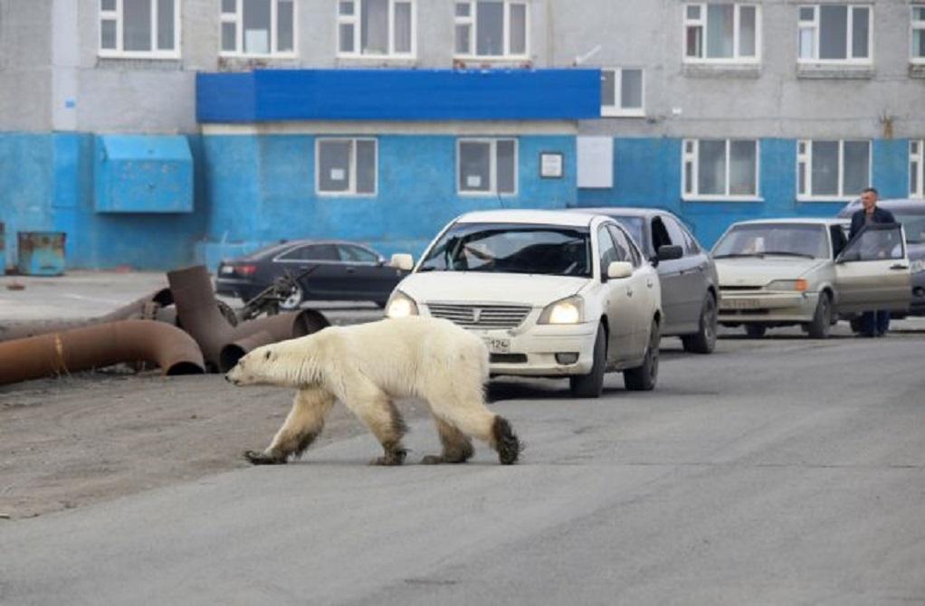 Θλιβερό- Πεινασμένη αρκούδα σε πόλη της Σιβηρίας-Τουλάχιστον 800 χλμ από το φυσικό περιβάλλον της