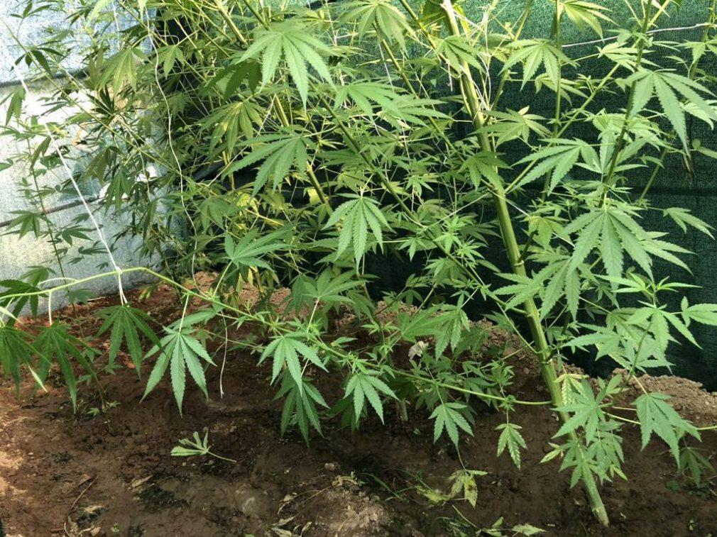 ΕΛ.ΑΣ.:Εντοπίστηκε φυτεία δενδρυλλίων κάνναβης στα Γεράνεια Όρη