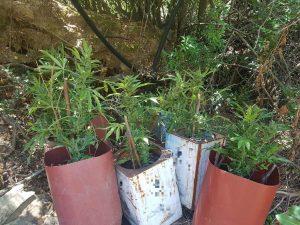 Λέσβος: Συνελήφθη για κατοχή και καλλιέργεια ναρκωτικών (ΦΩΤΟ)