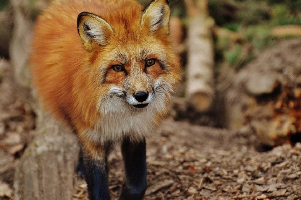 Κανένα κρούσμα λύσσας σε κόκκινη αλεπού την τελευταία 5ετία στη χώρα