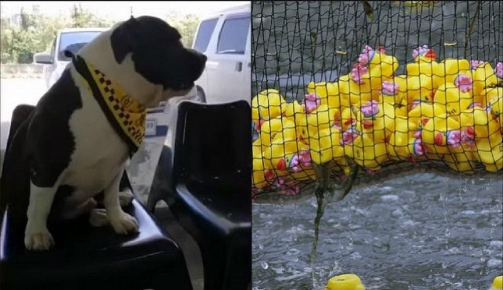 «Επιδρομή» σκύλου σε διακοσμητικά παπάκια – Έβγαλαν 32 από το στομάχι του (VIDEO)