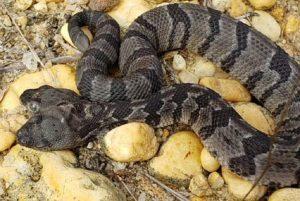 Σπάνιο φίδι με δύο κεφάλια ανακαλύφθηκε στις ΗΠΑ