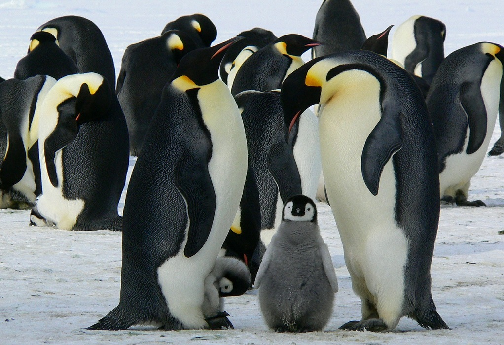 Ένα ζευγάρι θηλυκών πιγκουίνων θα αναθρέψει το πρώτο πιγκουινάκι «ουδετέρου γένους»