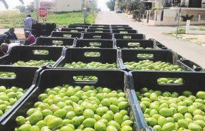 Χαλκιδική: Λύση στο πρόβλημα με το όριο εργατών για τη συγκομιδή της ελιάς