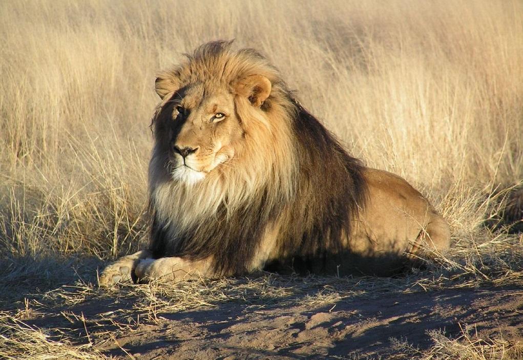 Ν. Αφρική: Κατασχέθηκαν οστά λιονταριών 342 κιλών