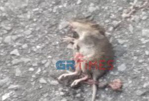 Γέμισε με ποντίκια κεντρικός δρόμος στη Θεσσαλονίκη (ΦΩΤΟ)