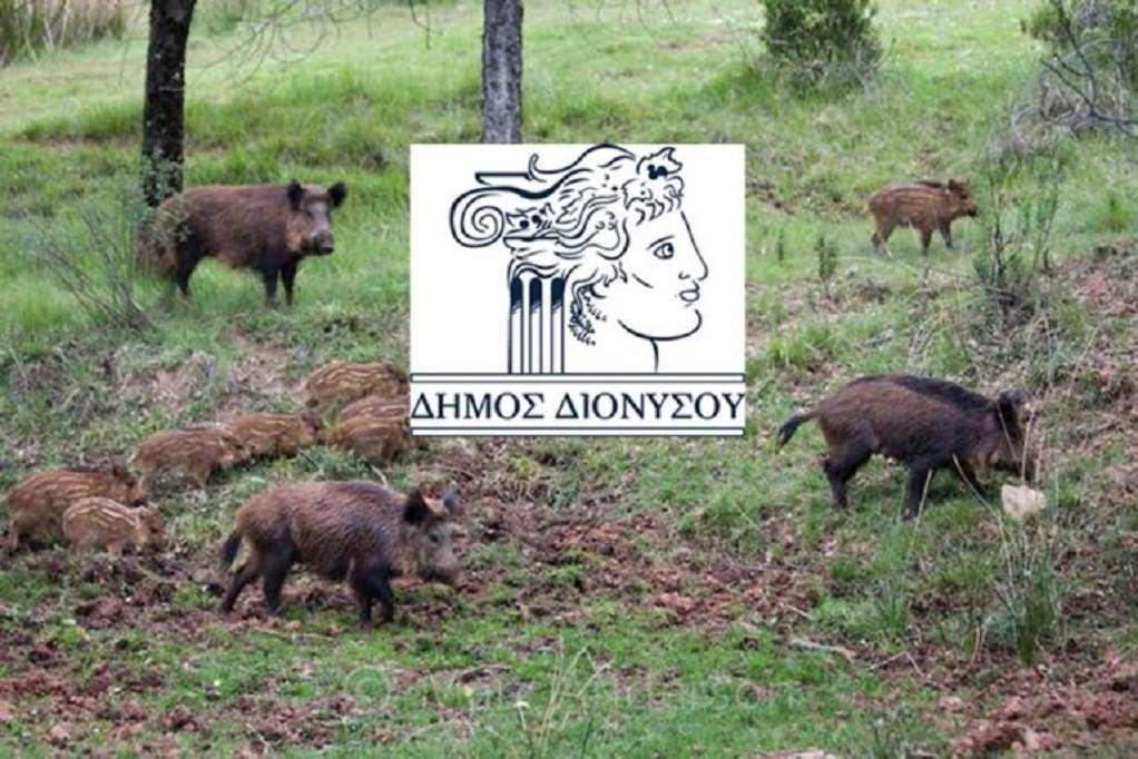Δήμος Διονύσου: Οδηγίες για τα… αγριογούρουνα