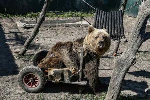 Πέθανε η πρώτη αρκούδα σε αναπηρικό αμαξίδιο (ΦΩΤΟ)