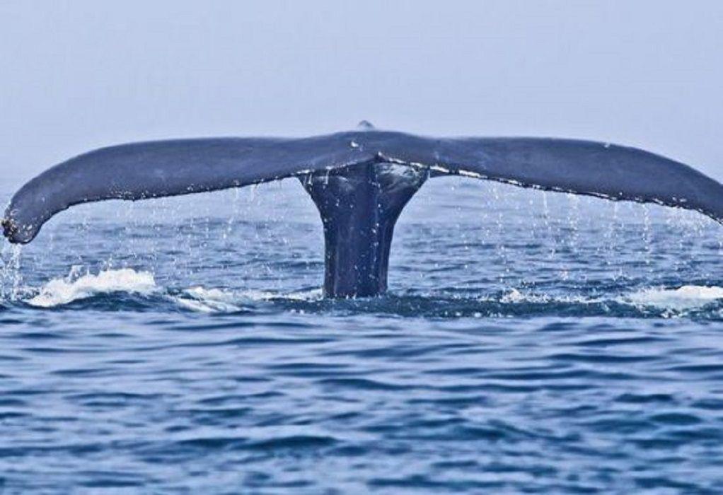 Βοιωτία :Φάλαινα φυσητήρας εμφανίστηκε στα Άσπρα σπίτια