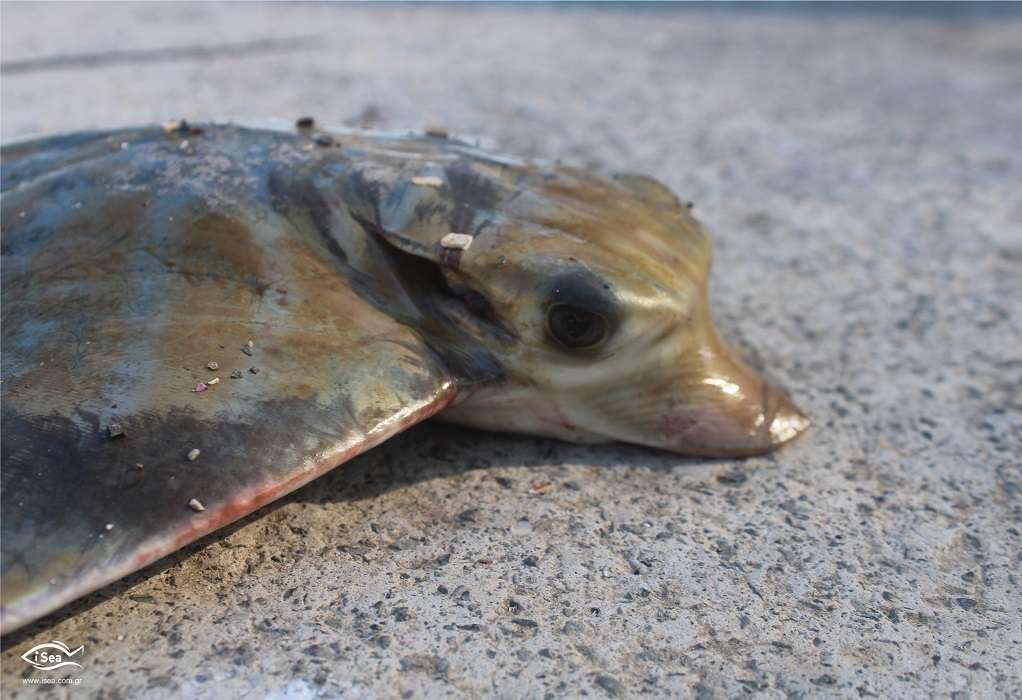 ΕΡΕΥΝΑ: Τρώτε γαλέο ή μπλε καρχαρία;