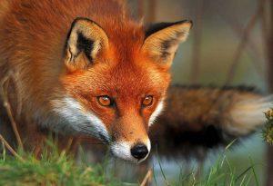 Αξιολόγηση της εμβολιαστικής εκστρατείας για τις αλεπούδες