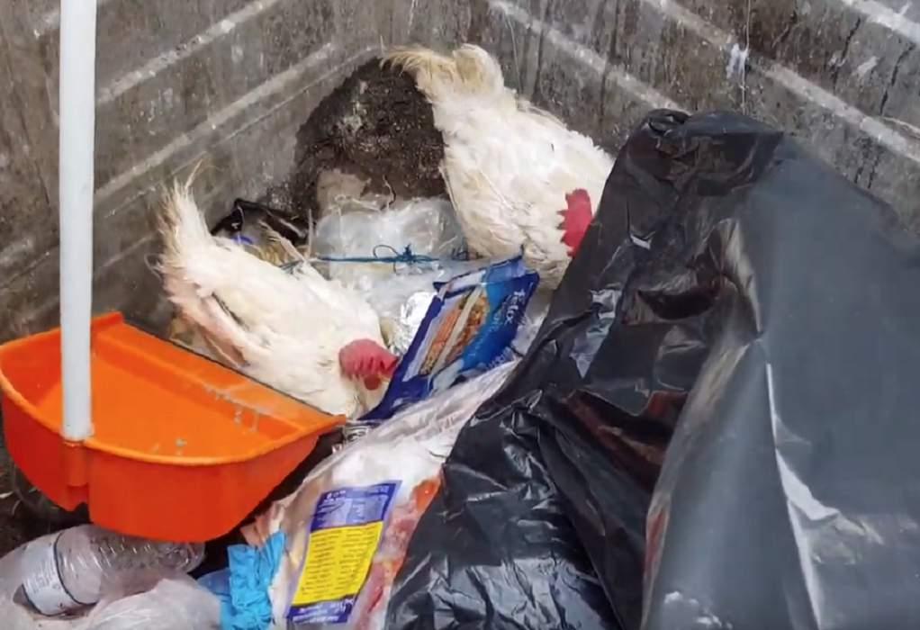 Έδεσαν κότες & τις πέταξαν στα σκουπίδια (VIDEO)