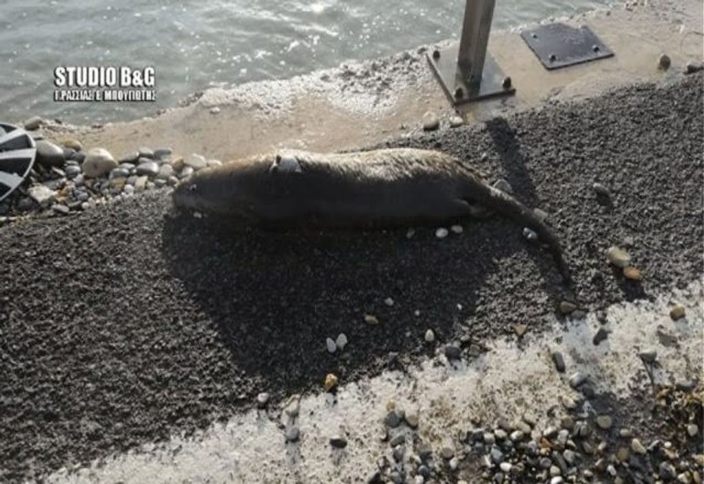 Αργολίδα: Σπάνια ευρωπαϊκή ενυδρίδα βρέθηκε νεκρή (ΦΩΤΟ)