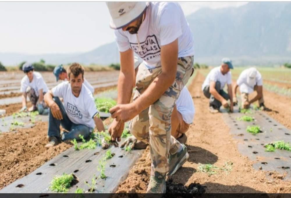 Η «Stevia Hellas» βλέπει την ανάπτυξη πανελλαδικά