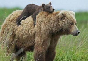 Μαμάδες αρκούδες φωτογραφίζονται μαζί με τα μικρά τους