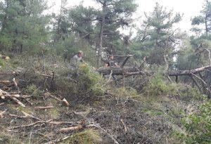 Ωραιόκαστρο: Άρχισε η κοπή δέντρων λόγω φλοιοφάγου