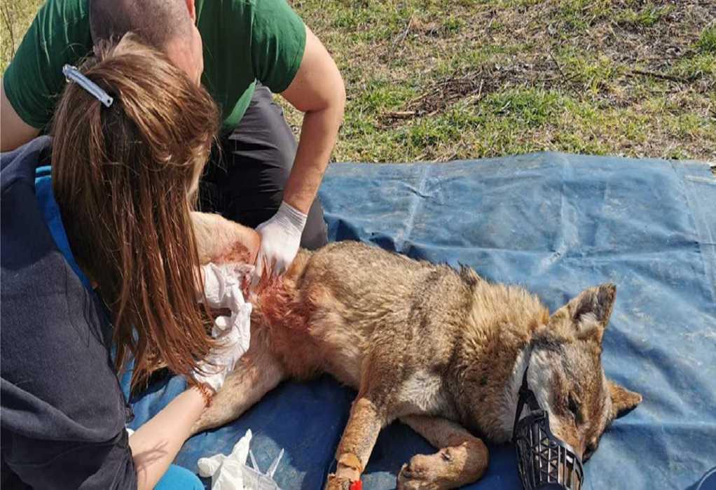 Βίντεο από την διάσωση της λύκαινας στη Θεσσαλονίκη