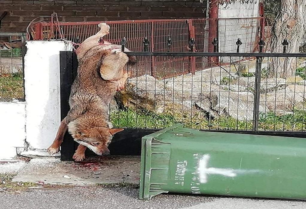 Θεσ/νίκη-Καστανάς: Λύκος εγκλωβίστηκε στα κάγκελα σπιτιού