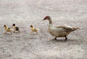 Βουλγαρία: Συναγερμός για κρούσματα ιού της γρίπης των πτηνών
