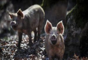 Κτηνιατρική ΑΠΘ: Στην εισαγγελία καταγγελία για επικίνδυνο κινέζικο στέλεχος ιού των χοίρων