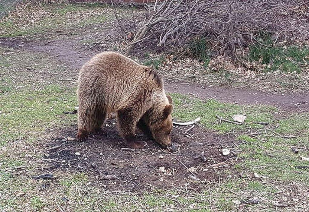 Νέο τροχαίο με θύμα αρκούδα στην Εγνατία Οδό πριν τα διόδια της Σιάτιστας