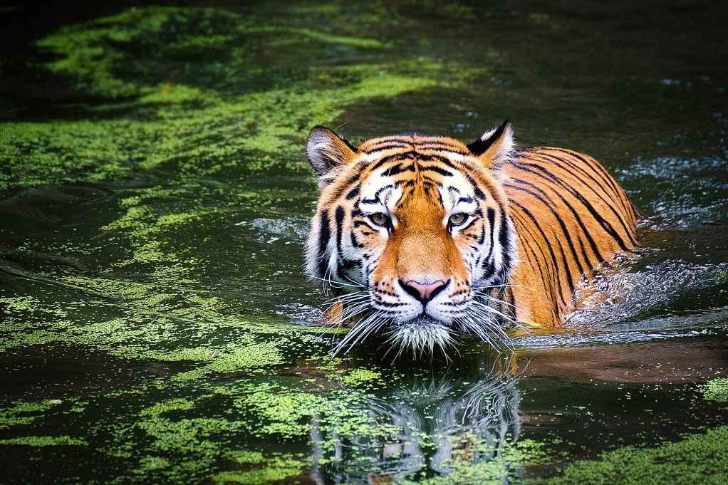Φύλακας ζωολογικού κήπου τραυματίσθηκε θανάσιμα από τίγρη