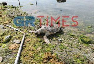 Νεκρή θαλάσσια χελώνα σε παραλία της Ροδόπης