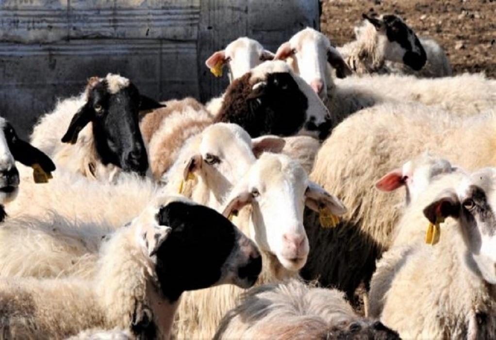 ΜeDinno: Ελλάς – Ιταλία συμμαχία στην κτηνοτροφία