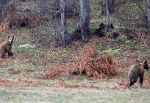 Καστοριά: Δύο αρκουδάκια βρέθηκαν θαμμένα