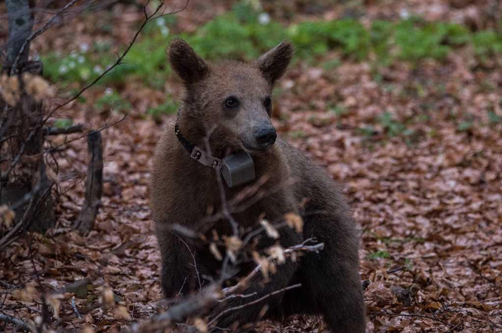 Οδηγός επιβίωσης: Τι να κάνετε αν συναντήσετε αρκούδα στο βουνό