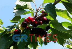 «Σκίζουν» εξαγωγικά τα ελληνικά κεράσια και καρπούζια