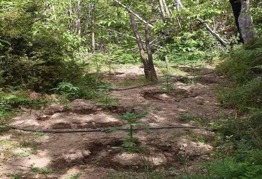Είχε «κρύψει» στο δάσος ολόκληρη χασισοφυτεία (ΦΩΤΟ)