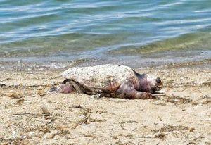 Περαία: Μάζεψαν τη νεκρή χελώνα και την έθαψαν πιο πάνω!