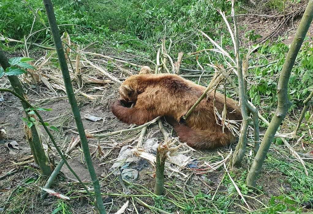 Αρκτουρός: Απεγκλωβισμός αρκούδας από παράνομη παγίδα