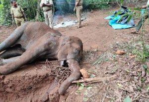 Κυανοβακτήρια η αιτία θανάτου ελεφάντων