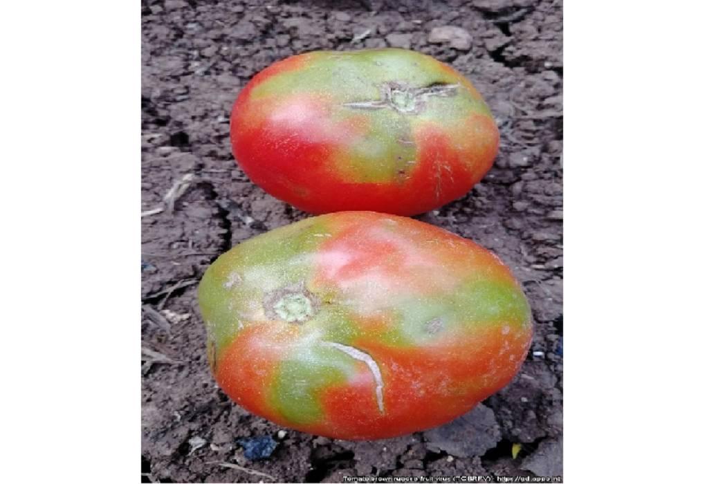 Κρήτη: Εντοπίστηκε επικίνδυνος ιός για τις ντομάτες
