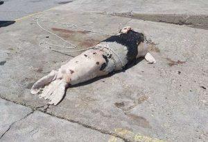 Πυροβόλησαν και σκότωσαν φώκια (ΦΩΤΟ)