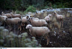 Λάρισα: Τουλάχιστον 320 πρόβατα κάηκαν από πυρκαγιά