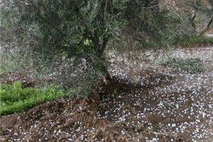 Χαλκιδική: Τις πληγές από το χαλάζι μετρούν οι αγρότες