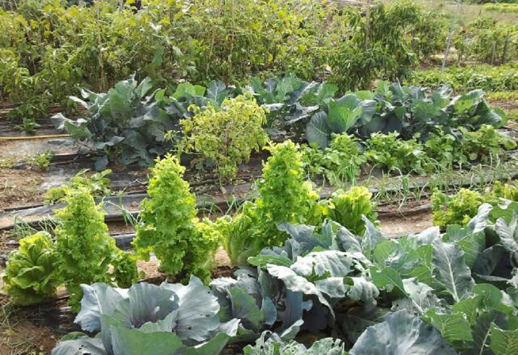 λαχανοκηπος απθ