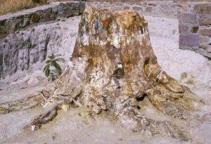 Λήμνος: Βρέθηκε γιγαντιαίος κορμός απολιθωμένου δένδρου