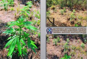 Φυτείες κάνναβης με εκατοντάδες φυτά  στο Δήμο Αγιάς (ΦΩΤΟ-VIDEO)